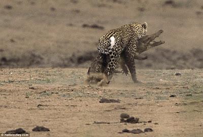 [Image: Leopard_Croc_Fight_01.jpg]