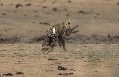 [Image: Leopard_Croc_Fight_02.jpg]
