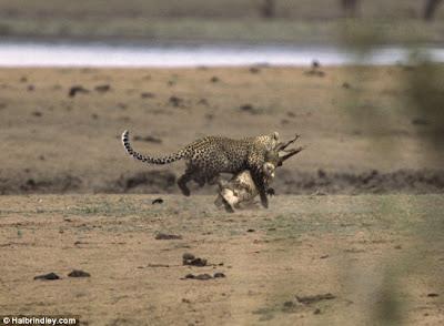 [Image: Leopard_Croc_Fight_03.jpg]