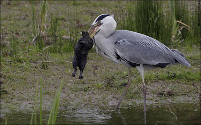 Heron_Eats_Rabbit_03.jpg