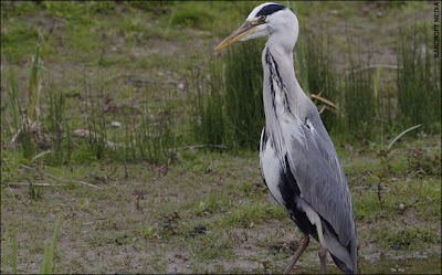 Heron_Eats_Rabbit_06.jpg
