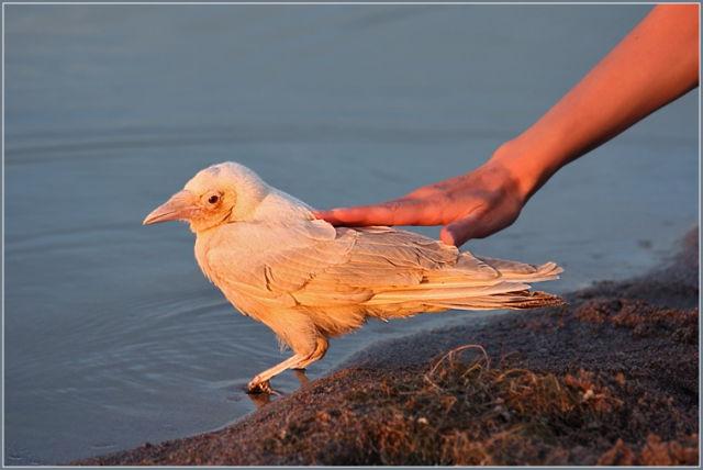 Albino crow - photo#54