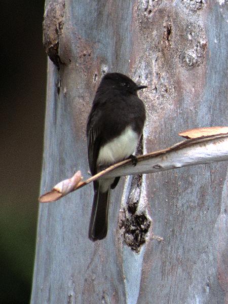 Gavilan Hills Blog Tuxedo Bird