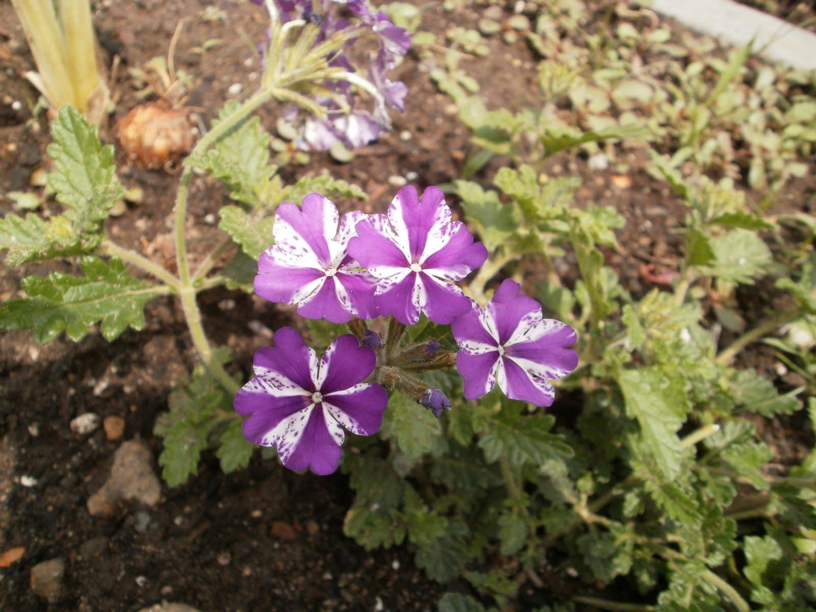 Verbena Lanai Purple Star