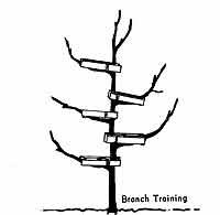 Growing: Pruning Apple Trees
