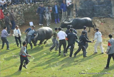 Bullfights in China