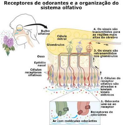 Salud Amaneciendo: Sentidos - OIDO, TACTO, GUSTO Y OLFATO