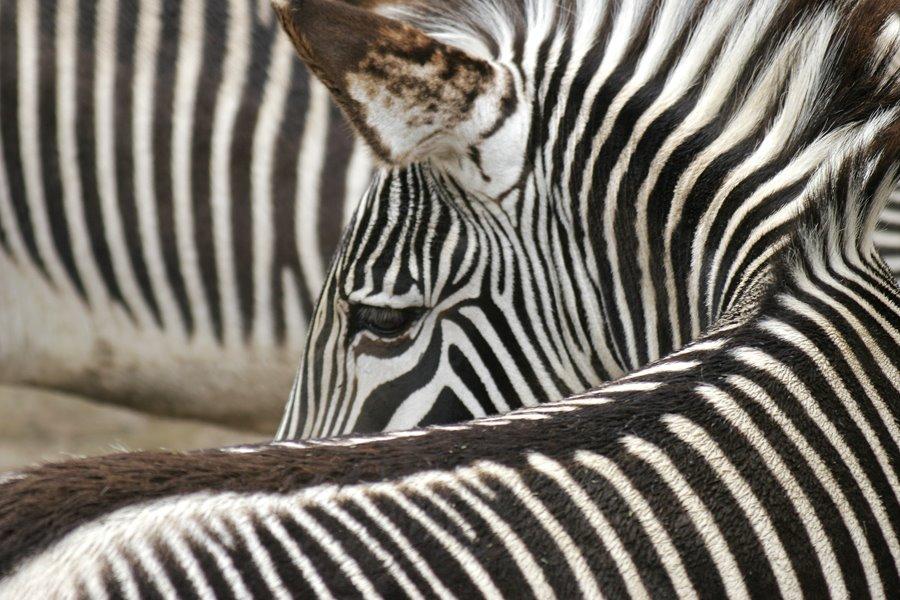 [Zebra.jpg]