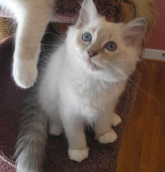 fluffy calico cat - photo #17