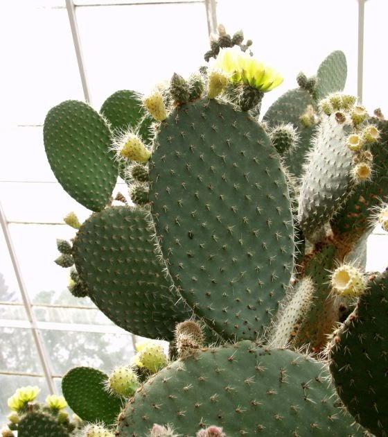 Future Plants By Randy Stewart Opuntia Prickly Pear