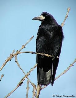 graja Corvus frugilegus aves passeiformes corvidae