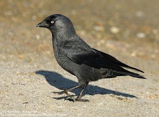 grajilla Corvus monedula