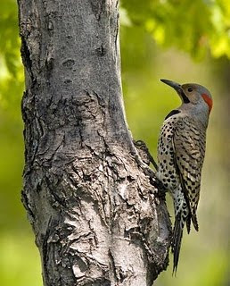 carpintero de ala roja Colaptes auratus