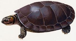 Tortuga gigante del Orinoco Podocnemis expansa