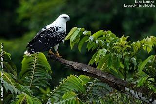 busardo blanco Leucopternis albicollis