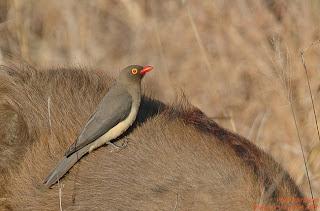 bufago de pico rojo Buphagus erythrohynchus
