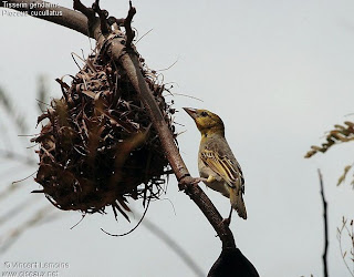 birds of africa tejedor urbano Ploceus cucullatus
