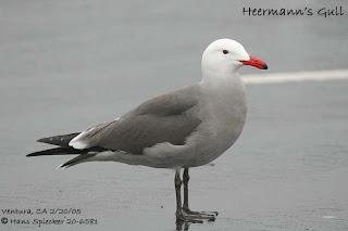 gaviota de Heerman Larus heermannii