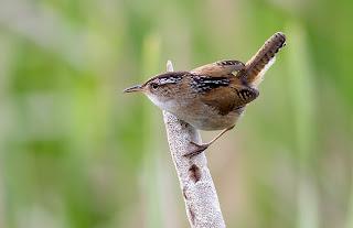 ecologia del Chivirin pantanero Cistothorus palustris