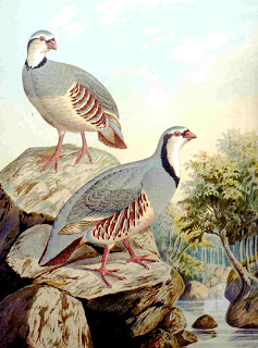 perdiz griega Alectoris graeca aves de Europa