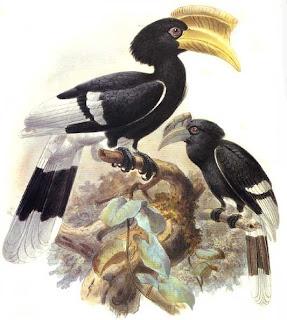 calao para parda Bycanistes cylindricus african birds