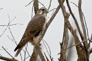 halcon de las praderas Falco mexicanus american birds