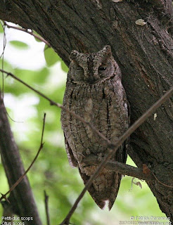 strigiformes Autillo europeo Otus scops