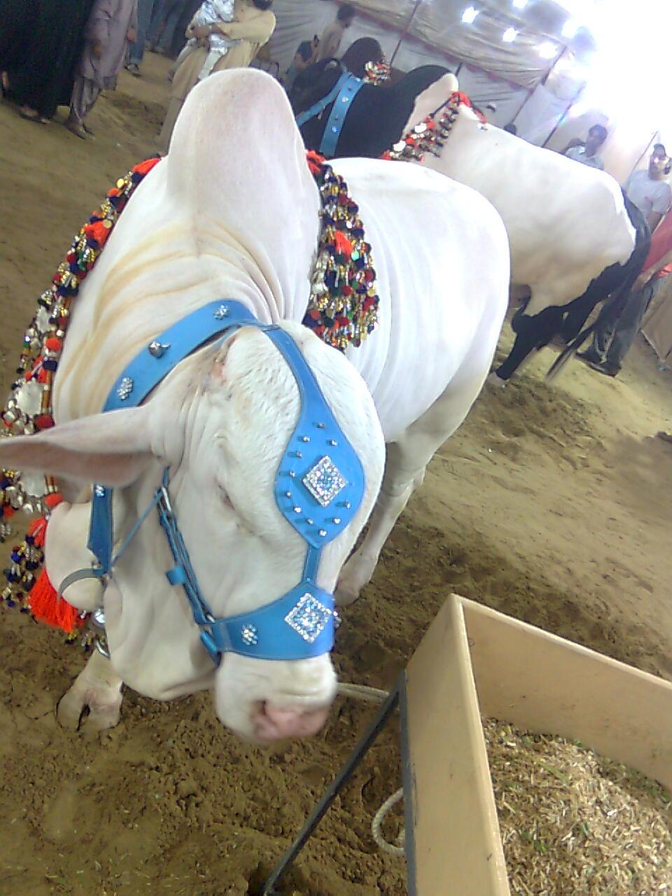 Jupies Qurbani Bull In Pakistan