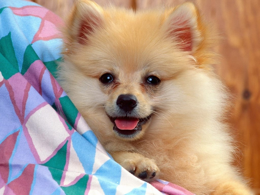 Spitz Dog Of German Pictures And Wallpapers