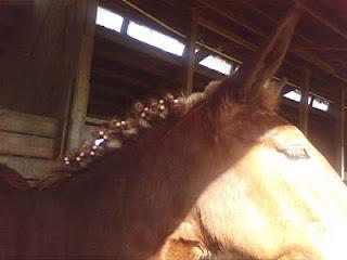 Mule wearing curlers