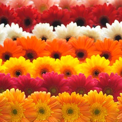 730d828be Acho as gérberas tão lindas.. amarelas, brancas, laranjas, rosas, vermelhas..  são simples, delicadas, charmosas e representam a beleza.