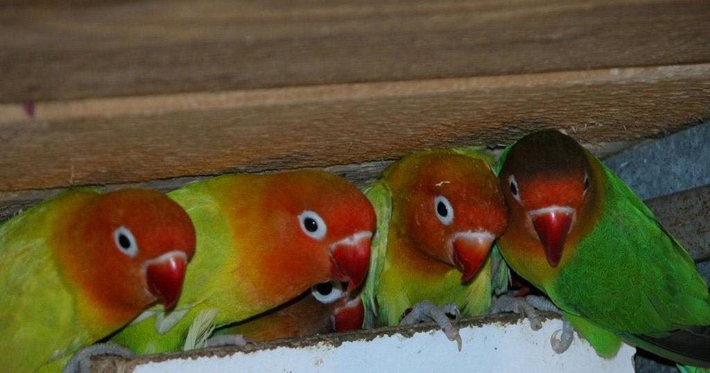 Image Result For Cara Merawat Lovebird Yang Sakit