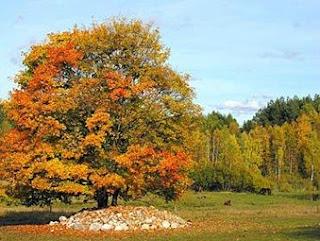 Árvore de Arce