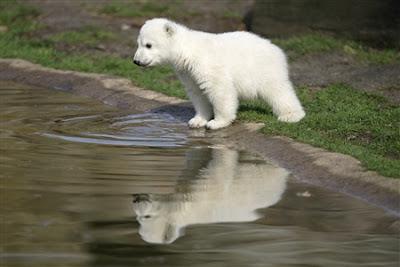 El osito Knut del Zoológico de Berlín