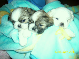 daisy patch shih tzu daisy patch shih tzus 1999