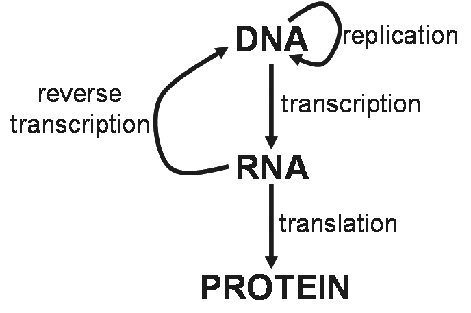 Everything And More The Central Dogma