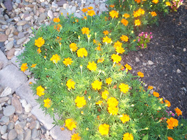 Marigolds - how pretty!