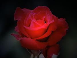 toda mulher gosta de rosas e rosas,muitas vezes são vermelhas,mas sempre são rosas!