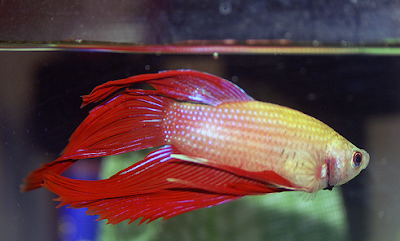 Beauty of wildlife betta fish want an easy pet to care for Easy to take care of fish