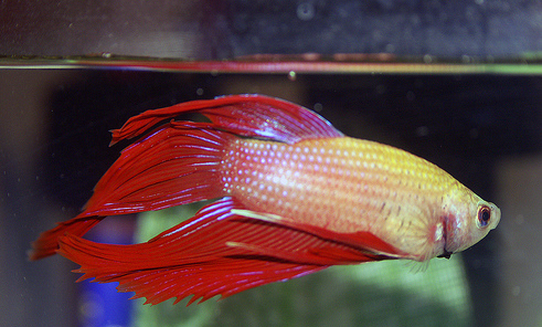 PETS CARE: Betta Fish Want an easy pet to care for? Try Betta Fish