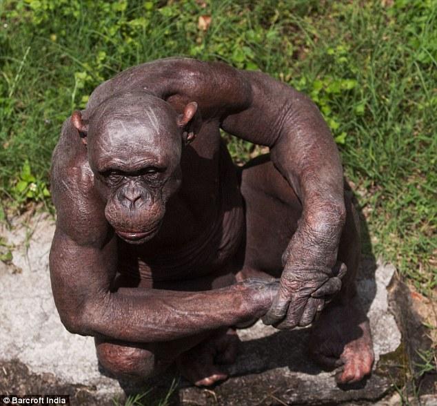 Thai Panda: Missing link: Guru the chimp suffering from