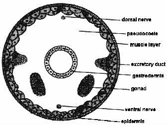 aschelminthes diagram
