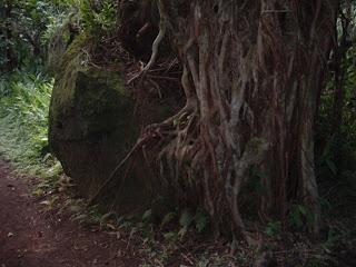 Banyan on the rocks