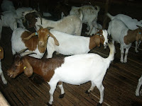 Boer Goats For Sale!!!