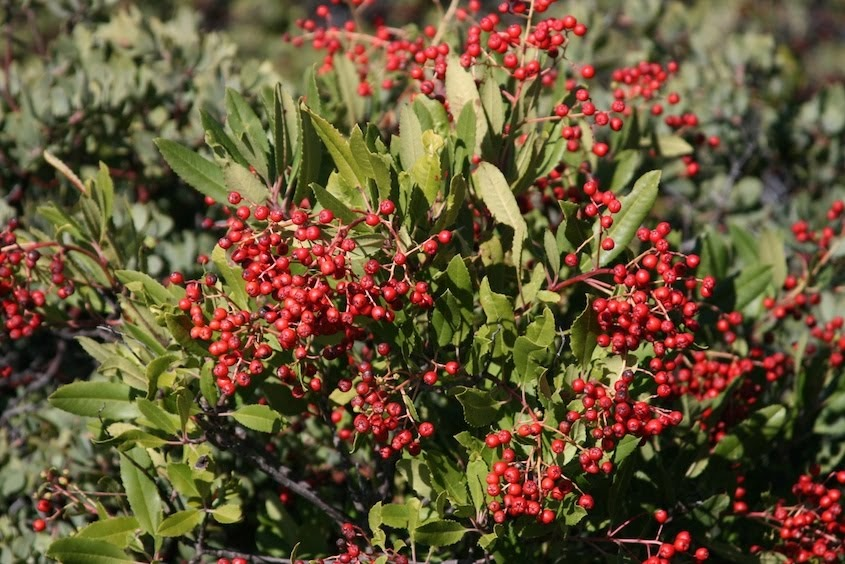 Town Mouse And Country Mouse Native Plant Of The Month Toyon