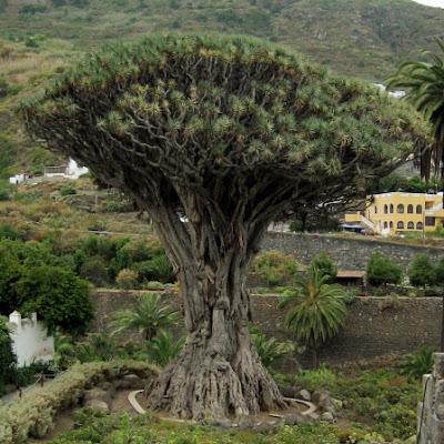 Drago Milenario - Tenerife