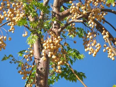 Melia Azedarach - Mature Fruit