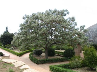 Melia Azedarach - Mature Tree Flowering in Spring