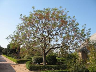 Melia Azedarach - Mature Green Tree
