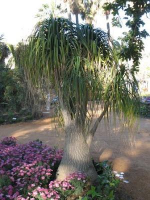 Ponytail Palm Nolina Recurvata